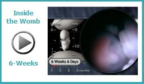 Inside the Womb - 6 Weeks